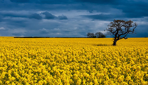 Rape seed field in Tythegston, South Wales